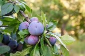 Close Up Of The Plum Tree Branch With Ripe Juicy Fruits On Sunset Light. poster