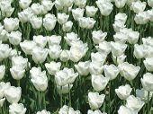 White Tulips Carpet Background