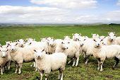 Sheep standing in paddock. Facing camera.