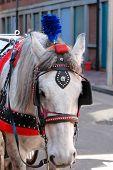 foto of blinders  - white horse pulling wedding carriage in boston - JPG