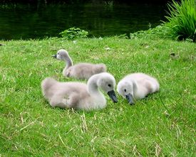 image of water bird  - Three cute fluffy grey baby Mute swans on the grassy river bank resting and eating grass - JPG
