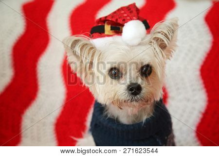 poster of Cute Small dog Christmas. A Morkie half Maltese - Yorkie dog smiles for his Christmas Portrait. Smal