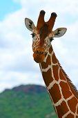Giraffe in the wild. Kenya. Samburu national park.