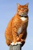 Yellow Tabby Cat Looking
