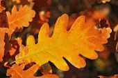 Yellow Oak Leaf Hanging On The Branch Of Oak Tree poster