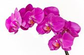 pink orchid (phalaenopsis) isolated