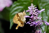 pic of cocoon tree  - A giant tropical butterfly sitting on a flower  - JPG