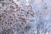 Branch Covered With Snow White Frost. Winter. Plants Are Frosty In The Early Morning. Beautiful Wint poster
