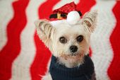Cute Small dog Christmas. A Morkie half Maltese - Yorkie dog smiles for his Christmas Portrait. Smal poster