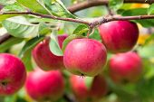image of apple tree  - Red apples on apple tree branch - JPG