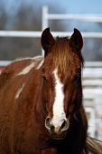 stock photo of horse face  - Sorrel and white paint horse full frontal shot - JPG