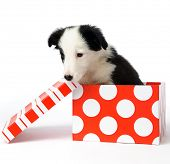 stock photo of christmas dog  - christmas dog in a gift box - JPG