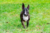 Miniature Bull Terrier. Young Energetic Dog Walks In The Meadow. Harmonious Relationship With The Do poster