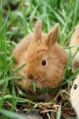 Small Red Rabbit Sit At The Grass And Has Breakfast poster