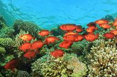 School of Crescent-tailed Bigeye Fish on a coral reef in the Red Sea