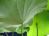 Under Lotus Leaves
