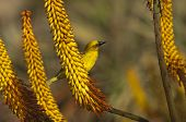 Cape weaver bird on a flower of Aloe ferox
