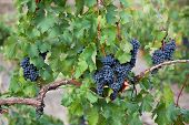 Several Bunches Of Ripe Black Grapes