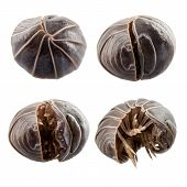pic of woodlouse  - Pill - JPG