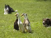 mallard duck playing on the field