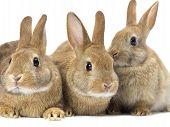 three brown bunny rabbit