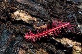 picture of millipede  - The shocking pink dragon millipede Desmoxytes purpurosea a colourful new species from Thailand - JPG