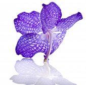Постер, плакат: Красивый фиолетовый Орхидея бутон изолированные на белом фоне
