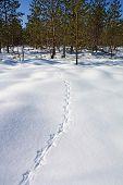 rastreamento de tetraz em branca de neve