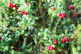 foto of rebs  - Reb cowberries growing on green brunches in forest - JPG