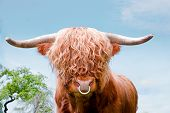 picture of highland-cattle  - a brown highland cattle highland cow closeup - JPG