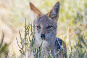 stock photo of jackal  - A close - JPG