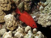 foto of bigeye  - Bright Red Bigeye, Red Sea, Sharm El Sheikh