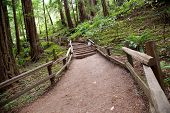 Trail In Muir Woods