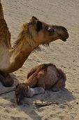 Little camel under his mother wing