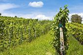 Vinhedo de uvas de Cabernet Sauvignon