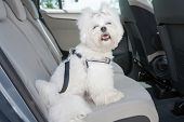 stock photo of car ride  - Small dog maltese sitting safe in the car on the back seat in a safety harness - JPG