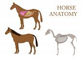 anatomy of horse
