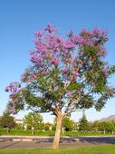 Purple-blue Jacaranda Spring Crown