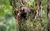 Tufted Capuchin In A Tree