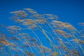 stock photo of wind blown  - Grass against blue sky background in windy day - JPG