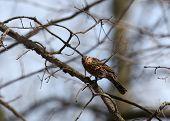 Pine Siskin bird on the branch of a tree