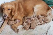 First Day Of Golden Retriever Puppies With New Dog Mom Lying On Dry Clothes