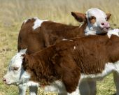 Springtime Fun Simmental Calves At Play