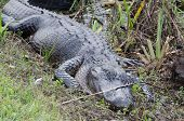 A sleeping alligator in the everglades national park florida