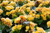 picture of begonias  - Beautiful background of yellow big begonias in garden - JPG