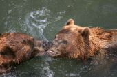 Kissing Kodiaks