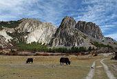 Grazing yaks near Manang, limestone formations