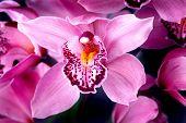 Fucshia Orchids