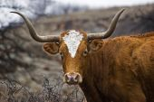stock photo of texas-longhorn  - This is a closeup portrait of a Texas Longhorn - JPG