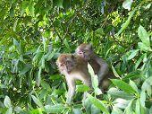 monkies